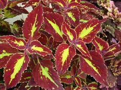 Plectranthus scutellarioides (Coleus) Types Of Soil, Types Of Plants, Belle Plante, Organic Soil, Garden Deco, Beautiful Flowers Garden, Colorful Trees, Rare Plants, Diy Garden Projects