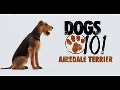 DOGS 101 - Airedale Terrier [ENG] - YouTube