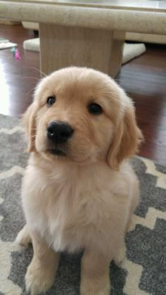 """Our new dog Porter saying, """"Why did you stop petting me? Baby Animals Super Cute, Super Cute Puppies, Cute Little Puppies, Cute Little Animals, Cute Dogs And Puppies, Cute Funny Animals, Baby Dogs, Doggies, Baby Animals Pictures"""
