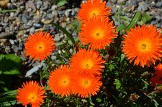 Ze bloeien weer volop in verschillende kleuren! #middagbloem #ijsbloem