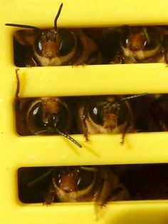 """Drones (males) of Apis mellifera looking out of the """"bee hotel"""" https://www.facebook.com/photo.php?fbid=230887683638283=a.230886546971730.59229.230881753638876=1 #seemyscience"""