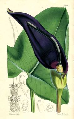 Araceae - Arum palaestinum From: Curtis's botanical magazine, comprising the plants of the Royal gardens of Kew and other botanical establishments in Great Britain; with suitable descriptions by Joseph Dalton Hooker.