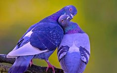 beautiful images of love birds Download -   Love Bird Wallpapers Wallpaper Cave with regard to Beautiful Images Of Love Birds | 2560 X 1600  Download  beautiful images of love birds Download wallpaper from the above display resolutions for HQ Widescreen 4K UHD 5K 8K Ultra HD desktop monitors Android Apple iPhone mobiles tablets. If you dont find the exact resolution you are looking for go for Original or higher resolution which may fits perfect to your desktop.   Bird Wallpaper Love Birds…
