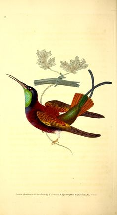 v.1 (1823) - The Naturalist's repository, or, Monthly miscellany of exotic natural history / - Biodiversity Heritage Library