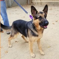 Beautiful, 1 1/2 year-old Ponder is from Sacramento City Shelter.  Welcome to GSRNC rescue, Ponder!  Nov. 3, 2017
