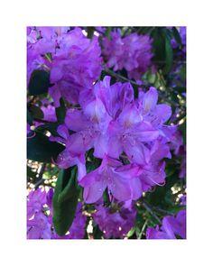 """flower overdose on Instagram: """"violet rhododendron . . . . . . . . . . . . . . . . . . . . . #gardenflowers #beautifulflowers #flowers #flower #nature #garden…"""" Beautiful Flowers, Instagram, Garden, Plants, Garten, Pretty Flowers, Gardens, Planters, Tuin"""