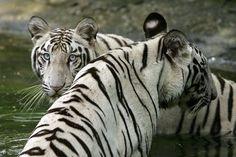 https://i2.wp.com/i2-prod.mirror.co.uk/incoming/article4307769.ece/ALTERNATES/s615b/White-Tigers-in-New-Delhi-in-2007.jpg?w=736&ssl=1