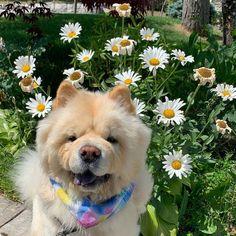 Gobi the Chow Chow (ᵔᴥᵔ) 温戈壁 on Instagram: #chowchowlover #dogsofinstaworld #doglover #cutepetshots #cuteanimalshots #petsoftheday #petslovers  #dogloversclub #dogloversonly #dogloversunite #dogloverforever #pupperdoggo #gooddoggo #cutedoggo #puppyfun #puppydaily #puppypic #puppyofinsta #puppydays #puppiesoftheday #puppiesdaily #puppieslover Animals And Pets, Cute Animals, Pupper Doggo, Chow Chow Dogs, Cat Day, Best Dogs, Cats Of Instagram, Cute Dogs, Cat Lovers