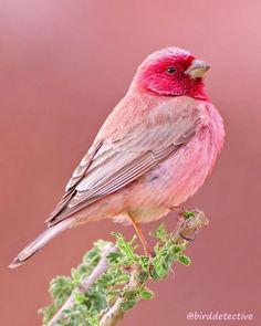 - Birds - Have you ever seen a pink bird? 😍❤️A beautiful pink colour! Have you ever seen a pink bird? 😍❤️A beautiful pink colour! Rosefinch photo by Pretty Birds, Cute Birds, Pretty Cool, Exotic Birds, Colorful Birds, Colorful Animals, Tropical Birds, Exotic Pets, Most Beautiful Animals