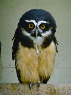 Spectacled Owl - So Cute !
