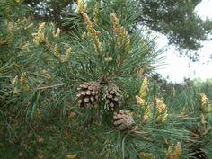 borovice lesní (borovicovité)