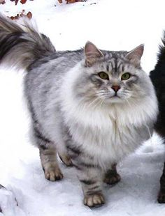 Siberian cat--Not a true breed, but a type of cat which has developed naturally in the former Soviet Union.