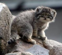 I love this type of cat, it's called Pallas cat