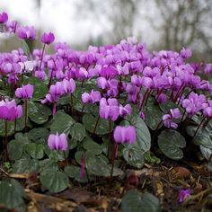 Amazon.com : Best Garden Seeds New 'Qiguaidao' Purple Eastern Cyclamen Seeds, 5 seeds, professional pack, a must for garden diy plant : Patio, Lawn & Garden
