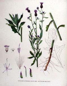 Akkerdistel - Cirsium arvense