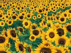 Google Image Result for http://api.ning.com/files/PJBR1OvA6FWDG9WUoWRCJvbS-d-w4koCtdv60nQXUezqcQ8gL51qZsoEPGsj1BYla9KNXln3ih8uAKZwyeh5ZnC7vn8O4GFI/Sunflower3474359.jpeg