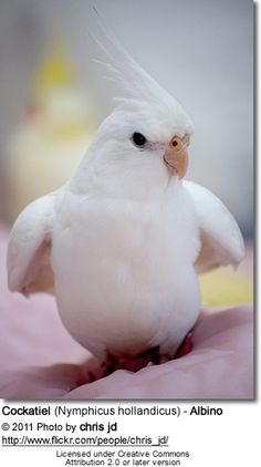White-face Lutino Cockatiel..He does appear to be an albino