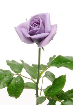 The World's First Blue Rose