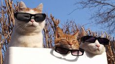 Cats with Sunglasses doing nothing - http://www.dravenstales.ch/cats-with-sunglasses-doing-nothing/