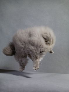 fluffy cat photo by Dan Burn-Forti. Funny Cats, Funny Animals, Cute Animals, Crazy Cat Lady, Crazy Cats, Gatos Cool, Fluffy Cat, Here Kitty Kitty, Sleepy Kitty