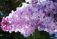 "Lilac print ""Felicity"" by WhetherTheStorm on Etsy"