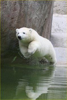 Eisbär junges beim Sprung in Wasser von Axel Keller13 Osito de peluche, saltando sobre el agua, vía fotocommunity.de.