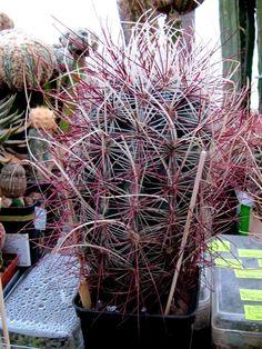 Sclerocactus polyancistrus