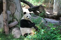 [ice cream & sunshine] that time i tried to take a panda, a koala, a capybara family, and a clouded leopard home with me from the san diego zoo: http://icecreamandsunshine.blogspot.com/2013/07/that-time-i-tried-to-take-panda-koala.html