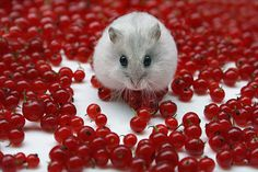 Mitza -- a Winter-white Russian dwarf hamster... This may be my all-time favorite!  And I had to laugh when I noticed she's sitting atop the berries, instead of what must be a more comfortable, smooth surface.  LOL!  How does one hug a tiny hamster? -- I would love to give her a big hug!  <3<3<3