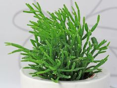 Rhipsalis cereuscula... AAlthough it is called a cactus, rice cactus (Rhipsalis cereuscula) is an evergreen succulent that also goes by the name coral cactus. It gets its name from its long, thin, downward-growing stems that are composed of small sections that look like grains of rice.