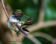 Time Out To Preen !!!! - These tiny little hummingbirds are always active and it was great to see the little volcano hummingbird take some time out to preen. They are so tiny but certainly do not lack in beauty !!!!!! These beauties are found at higher altitudes in The mountainous areas of Costa Rica !!!!!!!!! Wishing you all a lovely and blessed evening !