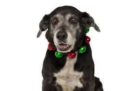 SOS ~~ SENIOR LAB ALERT ~~  [[OUT OF TIME]]  Henrietta (A252619) - 8-year-old female Labrador Retriever mix  Room No.: WD22 Hi, the Shelter named me Henrietta. I am an approximately 8 year old black and white female Labrador Retr-Mix. I a  m friendly and I tested heartworm negative. Please check here to get an idea of my size. I have been at Orange County Animal Services since Tuesday, December 11, 2012. http://apps.ocfl.net/dept/CEsrvcs/animal/NetPets/AnimalDetail.asp?ID=A252619=T