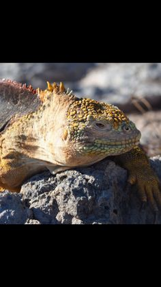 A Land Iguana shows off his sandy colouring on The Galápagos Islands