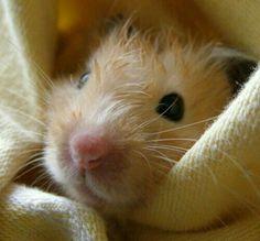Pretty little rattie after a bath.