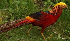 https://www.frankstrade.com/8470/red-golden-pheasants  #Red #golden #pheasants