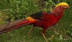 https://www.frankstrade.com/8470/red-golden-pheasants  #Red #golden #pheasants