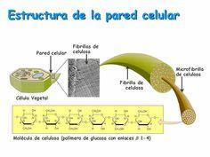Resultado de imagen para forma de la celula de un arbol