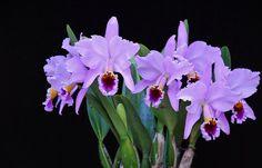 Cattleya percivaliana 'Augusto' | As RWA said, the very comp… | Flickr