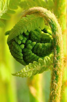 Osmonde de Clayton / Interrupted fern - Moments de grâce by Ange, Jean on Flickr