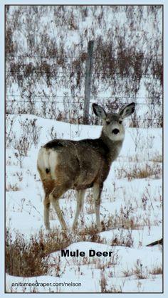 Mule Deer on Snowy Day, Southeast Saskatchewan, March Credit: Nelson Draper Canadian Wildlife, Mule Deer, Snowy Day, Goats, March, Blog, Photos, Animals, Image