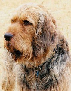 Otterhound: Definitely one of the world's rarest breeds. Only about 1,000 exist worldwide.