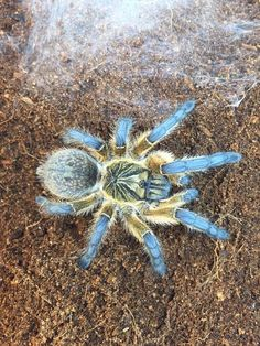 Fluffeh bebbeh-blue tarantuleh Cool Insects, Bugs And Insects, Zoo Animals, Animals And Pets, Unusual Animals, Exotic Animals, Spider Baby, Jumping Spider, Super Cute Animals
