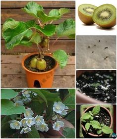 Growing Vegetables Grow Kiwi From Seeds Instructions - Gardening Tips To Regrow Fruit Trees From Seeds and Scraps Yourself, Grow your own Pinapple, Avocado, Apple, Lemon and Kiwi Trees from Kitchen scraps. Veg Garden, Fruit Garden, Edible Garden, Garden Plants, Bamboo Garden, House Plants, Flowers Garden, Garden Water, Water Plants