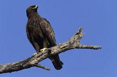 Wahlberg`s Eagle, Aquila wahlbergi, Kruger National Park, South Africa (26103)