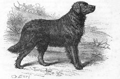 Ten notable extinct dog breeds: St. John's Water Dog - This Labrador look-alike had its glory days in the 16th century, when fishermen in Newfoundland relied on their ability to haul lines and retrieve ptarmigan and seals. #StJohnsWaterDog #Labrador #DogBreeds