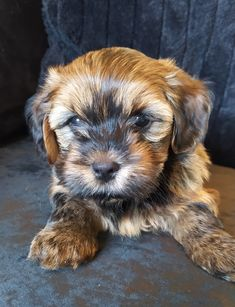 Havashu Puppy Dark Sable - Havanese/Shih Tzu - 8 weeks Shih Tzu Puppy, Havanese, 8 Weeks, Puppies, Dark, Animals, Baby Shih Tzu, Cubs, Animales