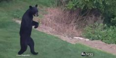 A New Jersey bear has been wandering neighborhoods on his hind legs for months. His front paws are injured - he needs help! (178214 signatures on petition)