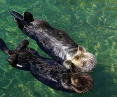 Otters sleep holding hands...
