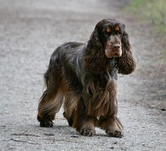 From Luna's Star Engelse Cocker Spaniels