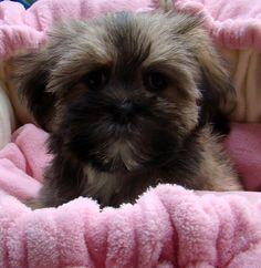 Poodle x (shih tzu x maltese)- female sable puppy